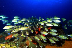 Group/Shoal of Cardinal Fish in Flic En Flac 20 metres